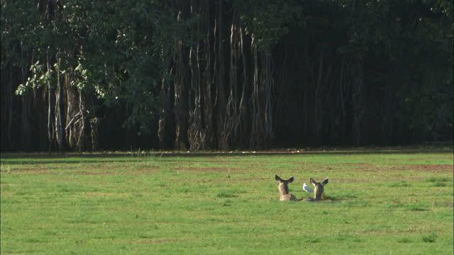 two sambar deers walking through algae lake water, eating wet plants, egret birds landing on deers - wide shot - egret stock videos & royalty-free footage