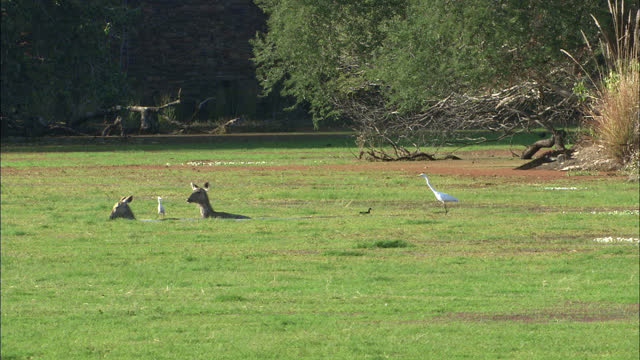 two sambar deers walking through algae lake water, eating wet plants, egret bird following deers - wide shot - egret stock videos & royalty-free footage