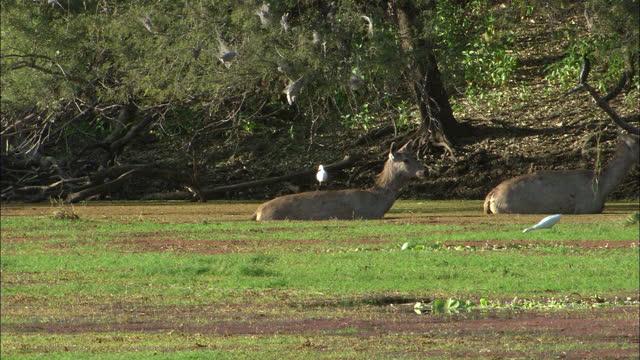 two sambar deers walking through algae lake water, leaving - wide shot - egret stock videos & royalty-free footage