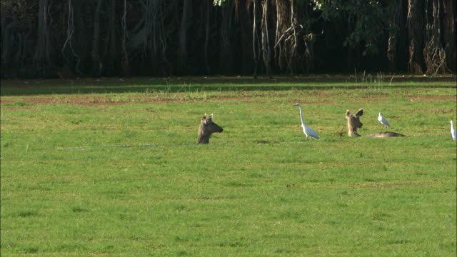 two sambar deers with egret birds in algae lake water, looks alert, eating wet plants - long shot - egret stock videos & royalty-free footage