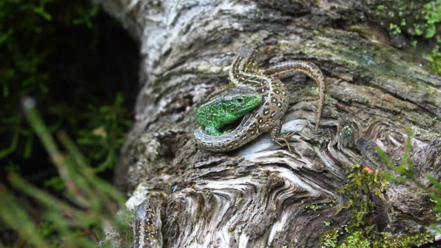 two sand lizards (lacerta agilis) curled together on a log, south downs - camouflage stock videos & royalty-free footage
