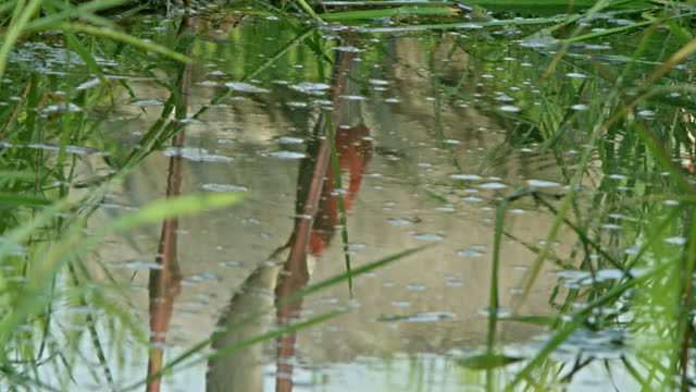 two sarus cranes foraging food in wetland, one of them looking down - walking in water stock videos & royalty-free footage