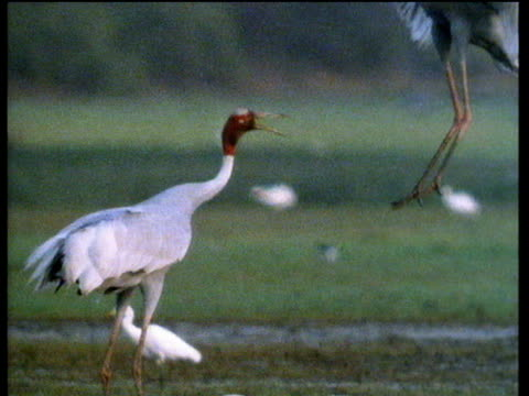two sarus cranes jump up and down in mangrove swamp, as part of courtship display, india - albero tropicale video stock e b–roll