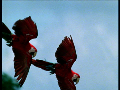 Two scarlet macaws fly in and land in tree