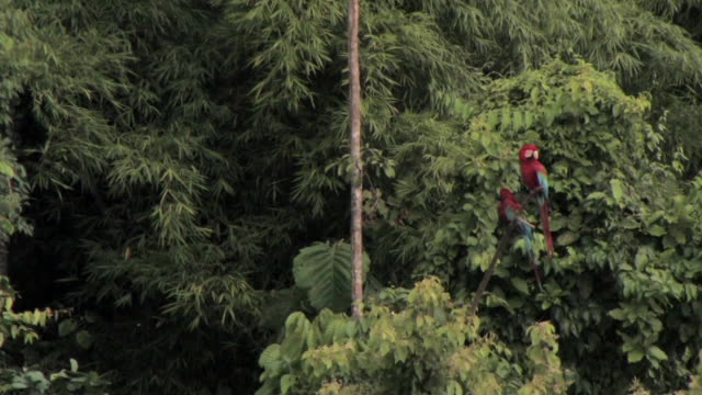ws two scarlet macaws (ara macao) perching in tree in lush rainforest in manu national park / peru - scarlet macaw stock videos and b-roll footage