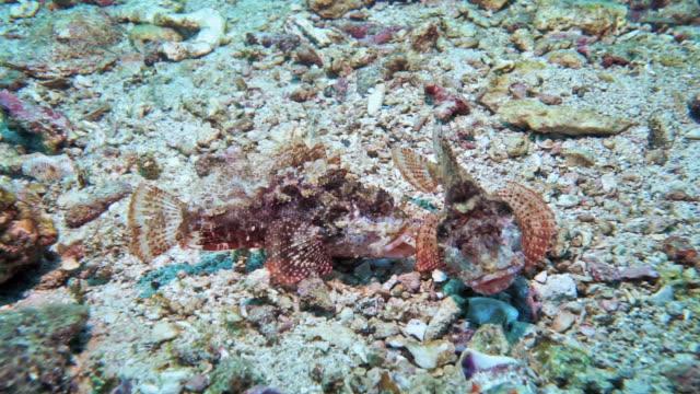 vidéos et rushes de deux poissons de scorpion combattant le comportement agressif sous-marin animal - agression