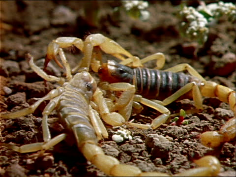 two scorpions interact with each other on rocky ground. - aggression stock videos & royalty-free footage