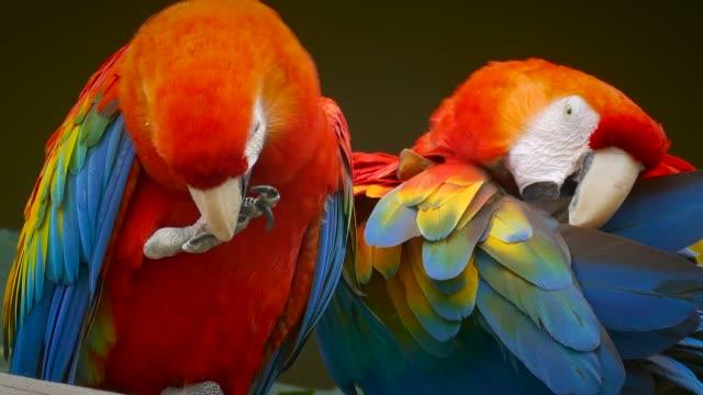 two scralet macaws preening in cuenca, ecuador - scarlet macaw stock videos and b-roll footage