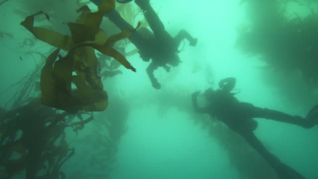 Two scuba divers swim in a kelp forest. Available in HD.