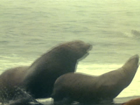vidéos et rushes de two sea lion bulls posturing on beach larger male chasing other out of harem - accouplement lion
