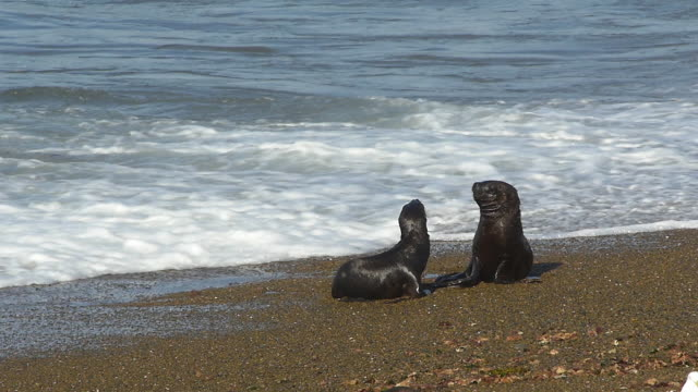 two sea lion puppies play with each other on the beach - 40 sekunden oder länger stock-videos und b-roll-filmmaterial