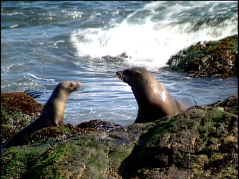 stockvideo's en b-roll-footage met ms, two sea lions on rocky ocean shore - noordelijke grote oceaan