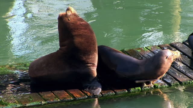 ms two sea lions resting on floating dock / newport, oregon, usa - newport oregon stock videos & royalty-free footage