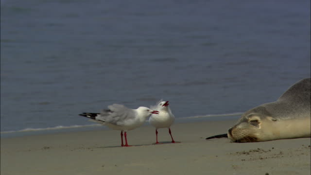 vidéos et rushes de ms, two seagulls walking around  australian sea lion (neophoca cinerea) lying on beach, seal bay, kangaroo island, south australia, australia - mouette
