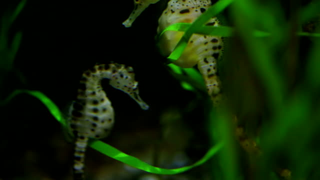 two seahorses floating underwater - close up - two animals stock videos and b-roll footage