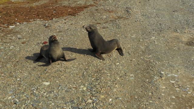 vidéos et rushes de two seals in antarctica - otarie à fourrure