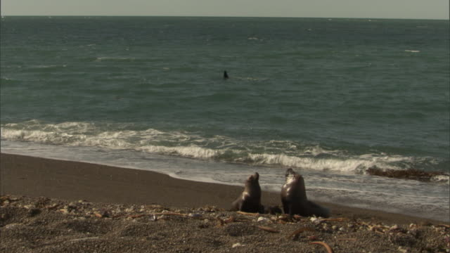 two seals lounge on a beach. - provinz chubut stock-videos und b-roll-filmmaterial