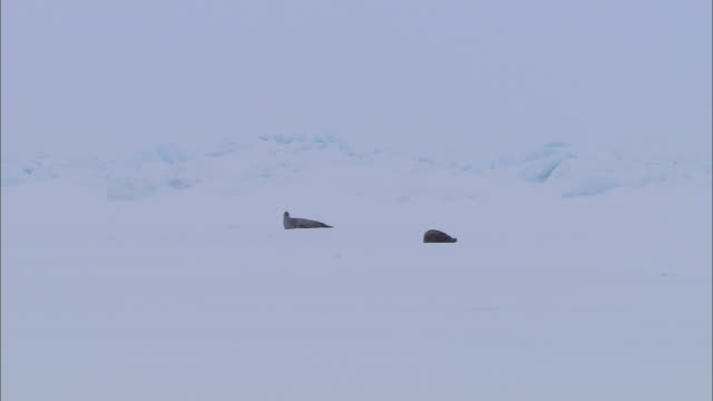 vídeos de stock, filmes e b-roll de two seals lying on the snow-covered ground in the north pole - cabeça para trás