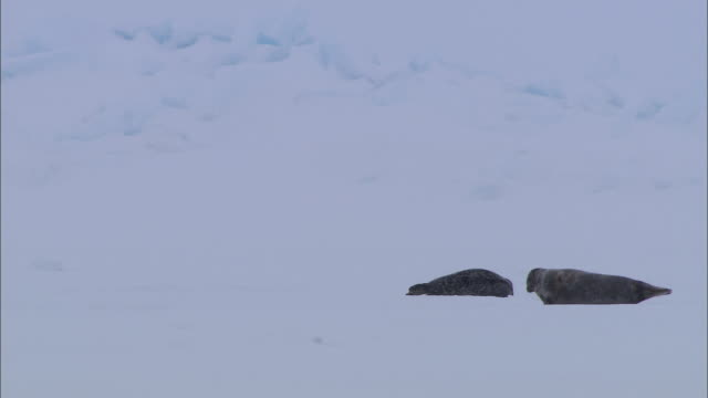 two seals lying on the snow-covered ground in the north pole - north pole stock videos & royalty-free footage