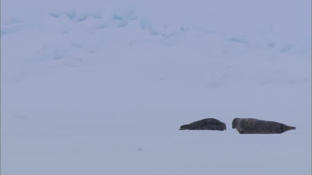 vídeos de stock, filmes e b-roll de two seals lying on the snow-covered ground in the north pole - pólo norte