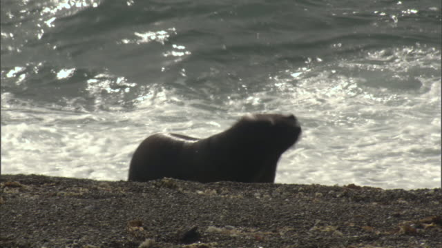 two seals move awkwardly along the shoreline. - provinz chubut stock-videos und b-roll-filmmaterial