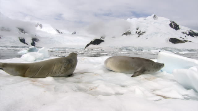 ms, pan, two seals on snow at water's edge, antarctica - seal animal stock videos & royalty-free footage