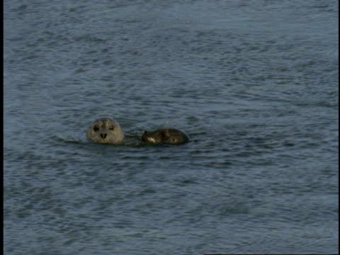 vídeos de stock, filmes e b-roll de two seals play in a mating ritual in monterey bay. - mamífero aquático