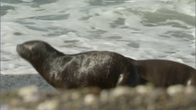 MS PAN Two seals run quickly across beach at water's edge / Puerto Madryn, Chubut, Argentina