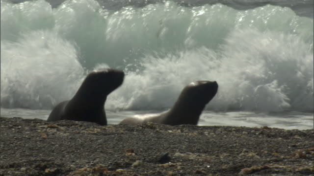 ms pan zi two seals waddling on beach from water / puerto madryn, chubut, argentina - waddling stock videos and b-roll footage