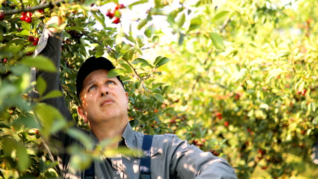 two senior people picking cherries in the orchard - picking stock videos & royalty-free footage