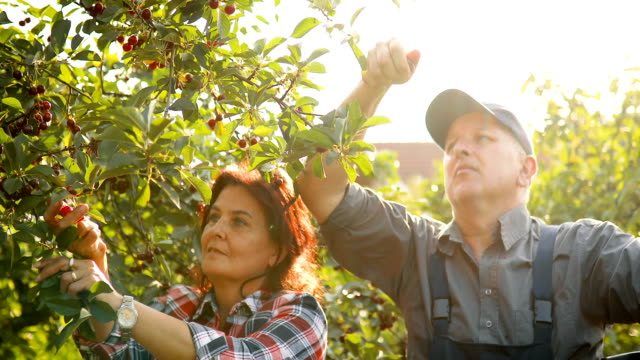two senior people picking cherries in the orchard - cherry stock videos & royalty-free footage