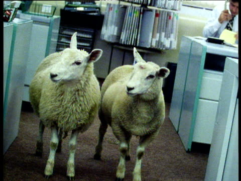 two sheep standing in office - human interest stock videos & royalty-free footage