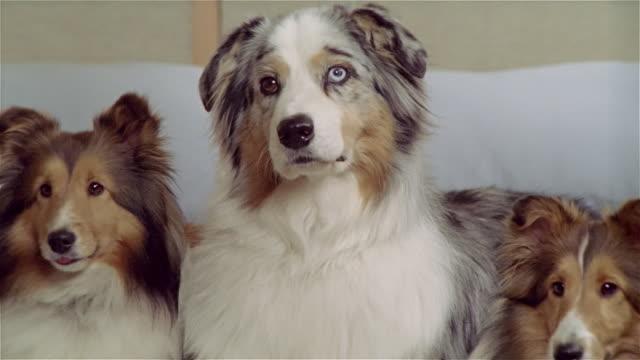 stockvideo's en b-roll-footage met cu, zo, ms, two shetland sheepdogs and australian shepherd lying in bed - australische herder