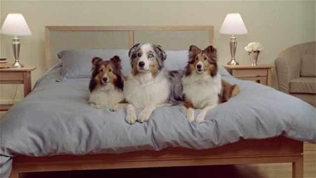stockvideo's en b-roll-footage met ms, two shetland sheepdogs and australian shepherd lying in bed - australische herder