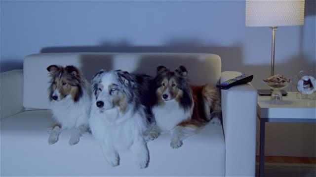 stockvideo's en b-roll-footage met ms, two shetland sheepdogs and australian shepherd lying on sofa, watching tv - australische herder