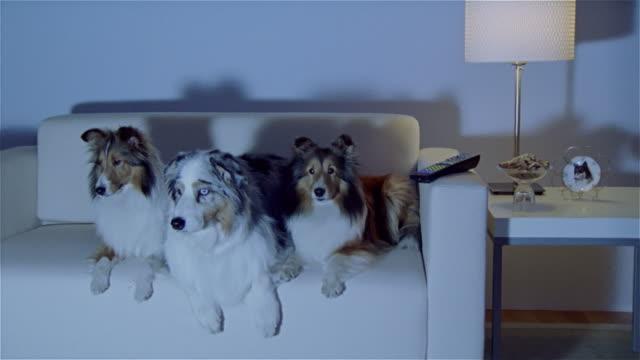 stockvideo's en b-roll-footage met ms, zi, cu, two shetland sheepdogs and australian shepherd lying on sofa, watching tv - australische herder