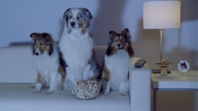 stockvideo's en b-roll-footage met ms, two shetland sheepdogs and australian shepherd sitting on sofa, watching tv - australische herder