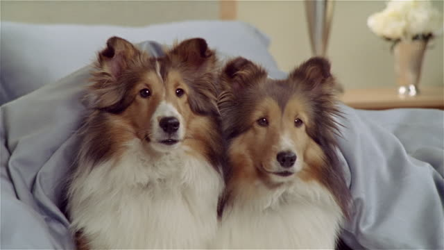 CU, ZO, MS, Two Shetland sheepdogs lying in bed under blanket
