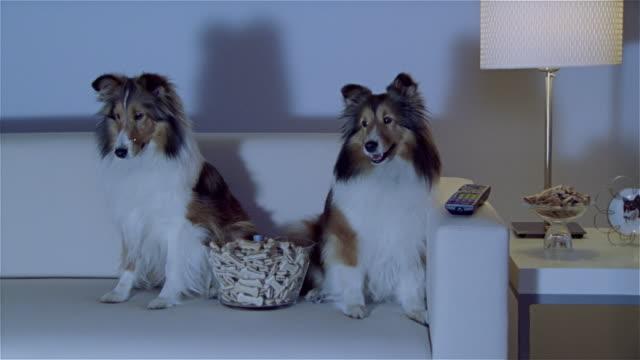 MS, ZI, CU, Two Shetland sheepdogs sitting on sofa, watching TV