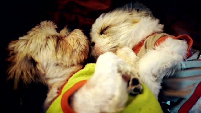 vídeos de stock, filmes e b-roll de duas shih tzu cachorro confortavelmente dormindo juntos na cama com um cobertor. - confortável