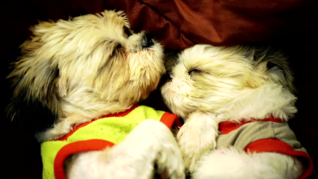 Two Shih Tzu dog comfortably sleeping together in bed with a blanket.