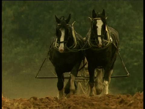 Two Shire Horses pull plough towards camera, UK