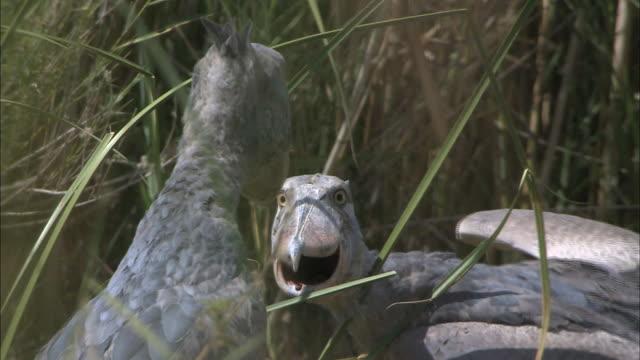 vídeos y material grabado en eventos de stock de two shoebills facing each other, bangweulu marsh, zambia, africa - cara a cara