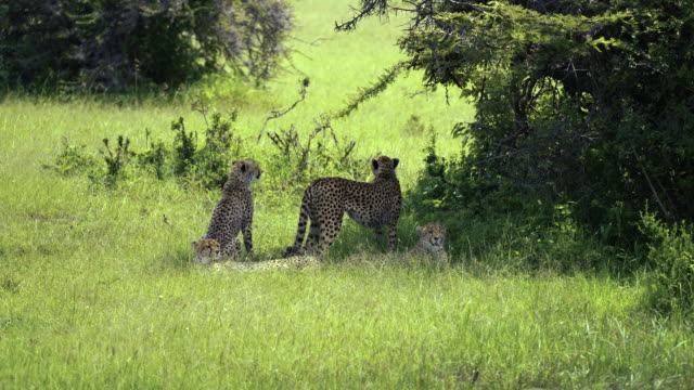 two shots - cheetah coalition (group) - 4k - named wilderness area stock videos & royalty-free footage