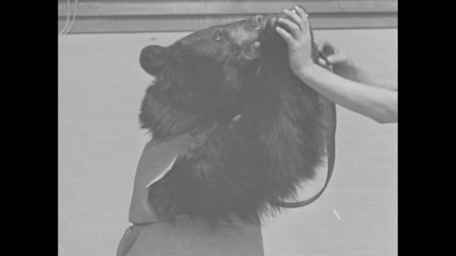 two shots of animal trainer giving bear on roller skates something to drink / bear eats something out of trainer's mouth / two shots of trainer... - animal mouth stock videos & royalty-free footage