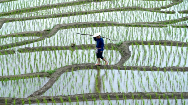 two shots of asian farmer carry wood stick and walking in rice field - rice paddy stock videos and b-roll footage