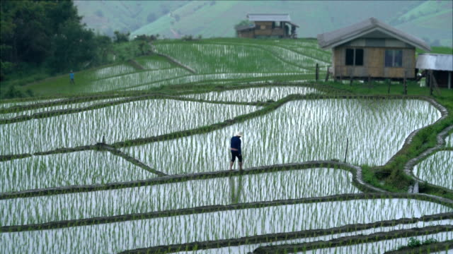 two shots of farmer walking in rice paddy filed while rainy - rice terrace stock videos and b-roll footage