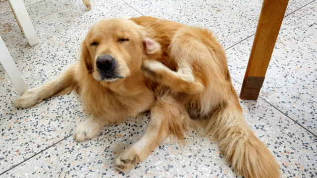 two shots of golden retriever scratching his ear - animal hair stock videos & royalty-free footage