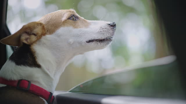 two shots of happy jack russell terrier dog watching scenic route with tropical trees - tropical tree stock videos & royalty-free footage