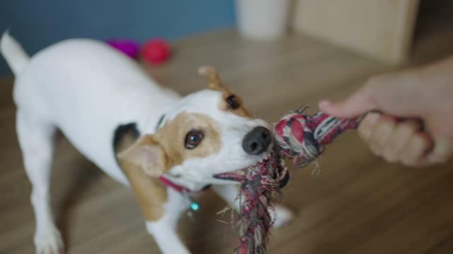 zwei aufnahmen von jack russell terrier, der mit dem besitzer seilziehen spielt - war stock-videos und b-roll-filmmaterial